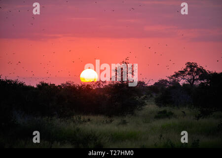 Sun setting on african plains, against a pink sky with flocks of birds flyiing - Stock Image