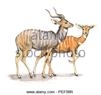 small kudu tragelaphus imberbis - Stock Image