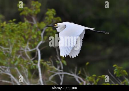 An Australian, Queensland breeding Little Egret ( Egretta garzette ) flying by - Stock Image