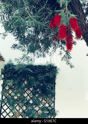Red bottle brush flowering tree - Stock Image