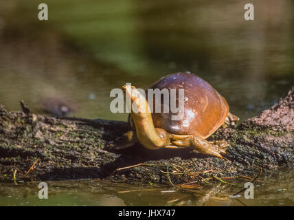 Indian flapshell turtle (Lissemys punctata) Keoladeo Ghana National Park, Bharatpur, Rajasthan, India - Stock Image