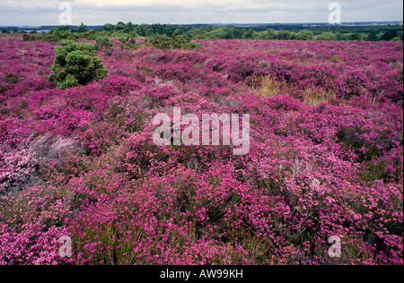 Pink Bell Heather Erica cinerea Southern England - Stock Image