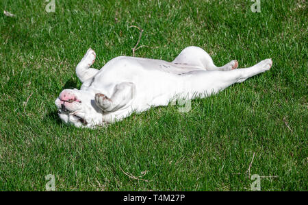 White English Bulldog puppy rolling in the grass - Stock Image