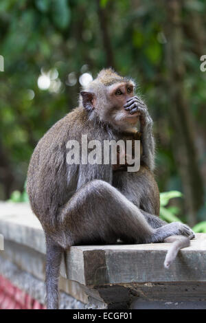 Langschwanz Makaken, long-tailed macaques,  Macaca fascicularis, Bali, mother and baby sitting on temple wall - Stock Image
