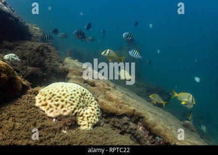 A Brain Coral and varied fish in Ilhabela, SE Brazil - Stock Image
