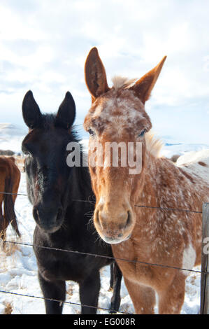 Donkeys in Winter Landscape - Stock Image