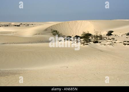 Desert Vegetation Growing on Sand Dunes. Corralejo National Park, Fuerteventura, Canary Islands, Spain, Europe - Stock Image