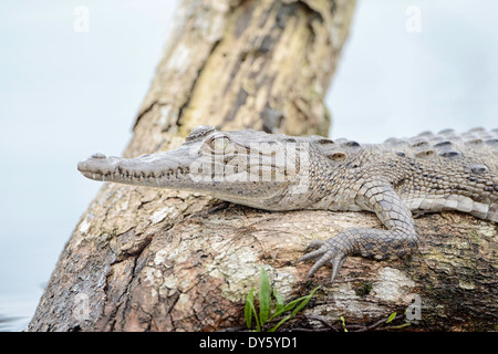 A spectacled caiman on a log in a lagoon in Tortuguero National Park in Costa Rica. - Stock Image