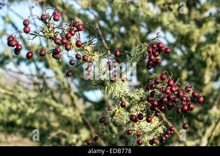 Red berries on the tree after winter freeze in Corvallis, Oregon, USA. - Stock Image