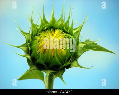 Sunflower Bud - Stock Image