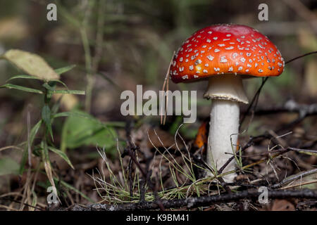 Tiny Amanita Muscaria close up - Stock Image