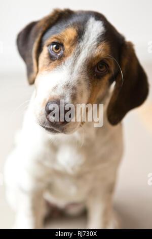 Welpe, Blick Kamera, Porträt, - Stock Image