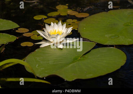 Lotus with yellow polen on dark background floating on water in Danube Delta - Stock Image