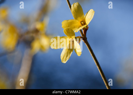 Close up image of blossom Korea Forsythia (Forsythia ovata Nakai) with blue background in spring time. - Stock Image