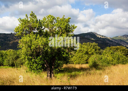Tree in the countryside near Sóller, Mallorca, Majorca, Balearic Islands, Balearics, Spain, Europe - Stock Image