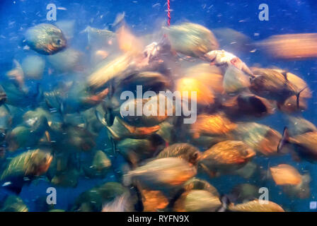 Motion blurred photograph of piranhas (Characidae) in a feeding frenzy. Bait chum(fish parts) hanging on a rope attract the fish for a meal - Stock Image