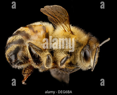 Macro view of a European honey bee, Apis mellifera, note the hairs coming off the compound eyes a distinctive honey - Stock Image
