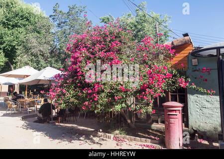 Blooming Tree Pueblito de los Domenicos Santiago do Chile - Stock Image