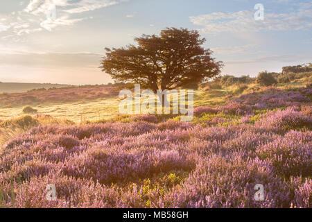 Pink heather in flower on Porlock common Exmoor - Stock Image