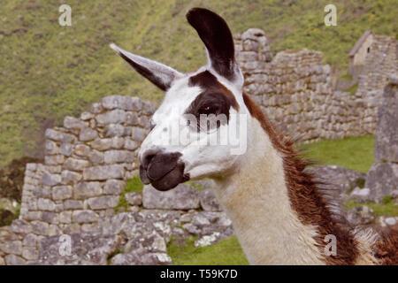 One of the eleven Llamas at Machu Picchu, Peru - Stock Image