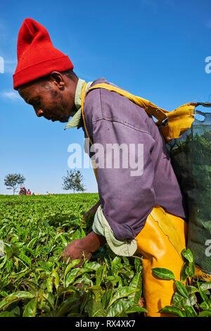 Kenya, Kericho county, Kericho, Philippe Korer, 36 old, tea picker picking tea leaves - Stock Image