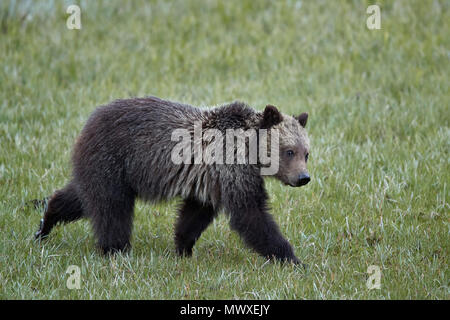 Grizzly Bear (Ursus arctos horribilis), yearling cub, Yellowstone National Park, Wyoming, United States of America, North America - Stock Image