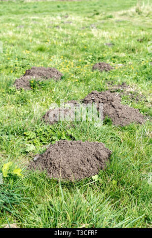 Mole hills in green grass - Stock Image