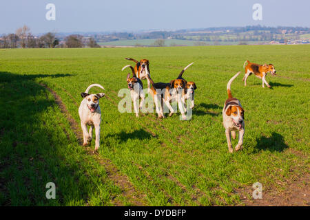 Pack of foxhounds running across a field. - Stock Image