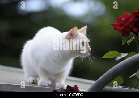 Thai cat fixing object on the roof in front of an rose arch - Stock Image