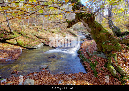 Old beech tree over mountain stream. Autumn landscape. - Stock Image