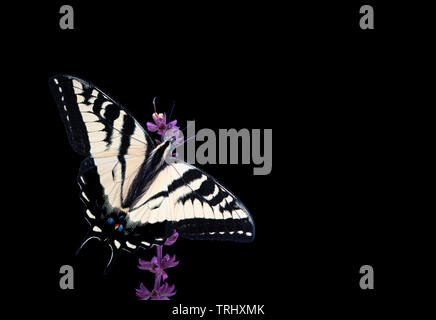 A western tiger swallowtail (Papilio rutulus) with wings spread open - on a solid black background - Stock Image