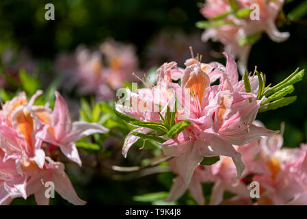 Rhododendron delicatissimum. Occidentale hybrid azalea. Ericaceae.Pink rhododendron flower in springtime. - Stock Image