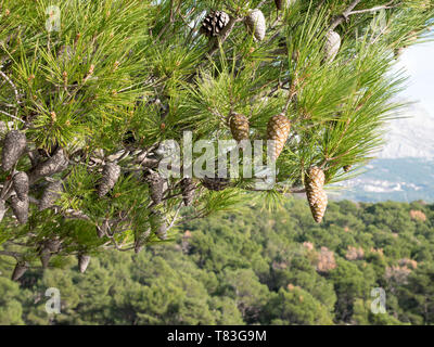 Pine tree branch close up in green forest on Mediterranean - Stock Image