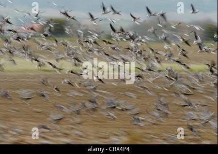 Flock of pink-footed geese (Anser brachyrhynchus) take off from sugar beet field, with motion blur. Norfolk. November. - Stock Image