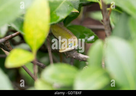 A green anole hides amongst the bush leaves - Stock Image
