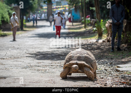 A large tortoise meanders down a dirt path in Addis Ababa, Ethiopia - Stock Image
