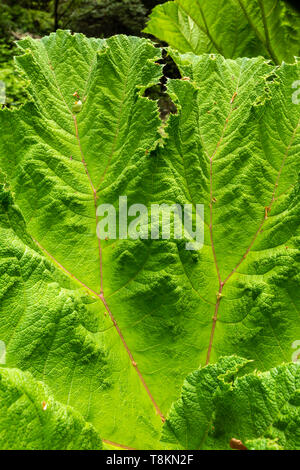 Photograph in portrait format of Giant Rhubarb Gunnera leaf (Gunneraceae) in colour. Branksome gardens, Poole, Dorset, England. - Stock Image