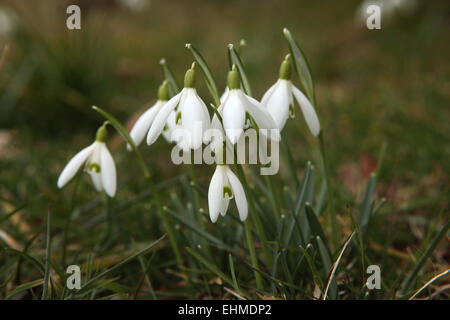 Common snowdrop (Galanthus nivalis) in Steinbach near Moritzburg, Saxony, Germany. - Stock Image