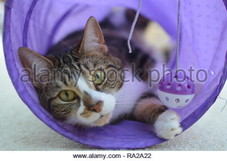 Closeup portrait of a domestic cat playing in a purple tube. - Stock Image