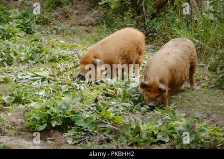 Kune Kune pigs feeding on vegetable garden waste, Wales, UK - Stock Image