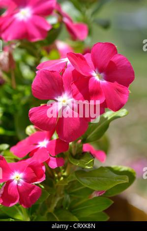 Catharanthus roseus periwinkle - Stock Image