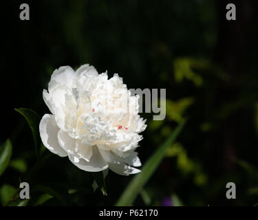 A white and red peony, Paeonia, in the sunshine in the garden with a dark green leaf shadow background. - Stock Image