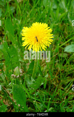 bright yellow dandelion taraxacum officinale growing in a rural garden zala county hungary - Stock Image