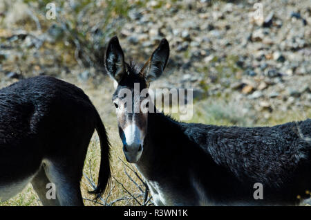 USA, California, Death Valley National Park, Butte Valley Road, Wild Burros - Stock Image