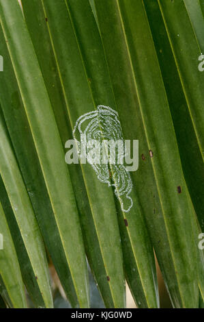 leaf miner insect living and burrowing under the surface of a leave leaves - Stock Image