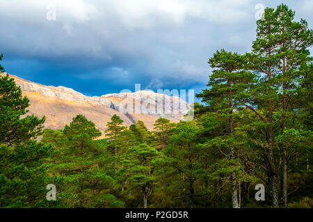 Dense pine forest on the slopes of Beinn Eighe Nature Reserve in the Highlands of Scotland - Stock Image
