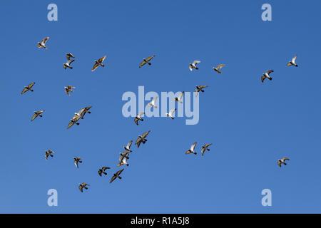 Flock urban city pigeons in flight - Stock Image