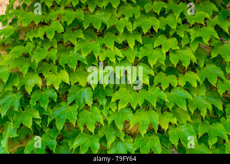 Green wild grape, nature background, green wall copy space - Stock Image