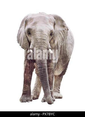 an elephant isolated on white background - Stock Image