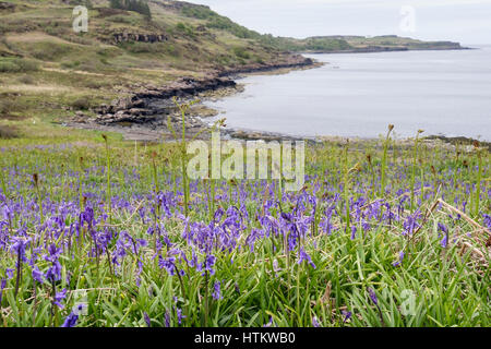 Bluebells flowering on seashore with Bracken fronds in early summer. Loch Scridain, Bunessan, Isle of Mull, Inner - Stock Image